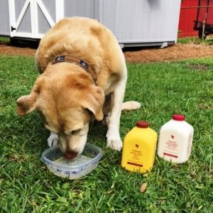 Aloe vera and dogs