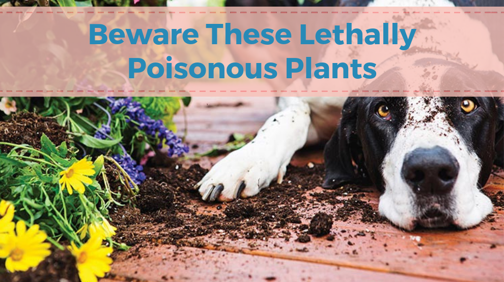 Beware These Lethally Poisonous Plants For Dogs