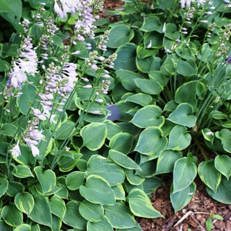 Poisonous plants for dogs - Hosta