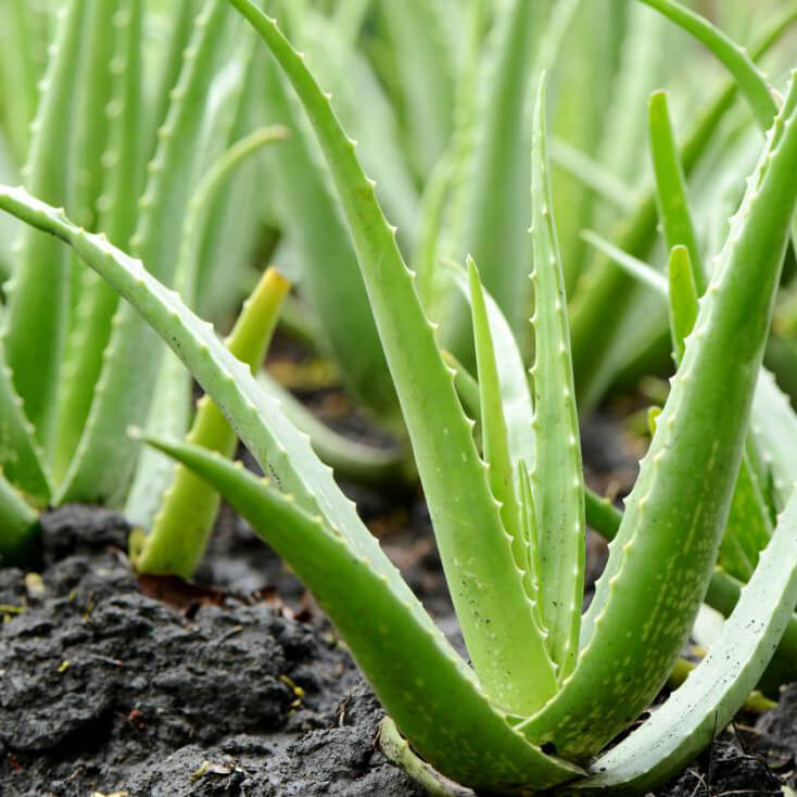 Poisonous plants for dogs - Aloe