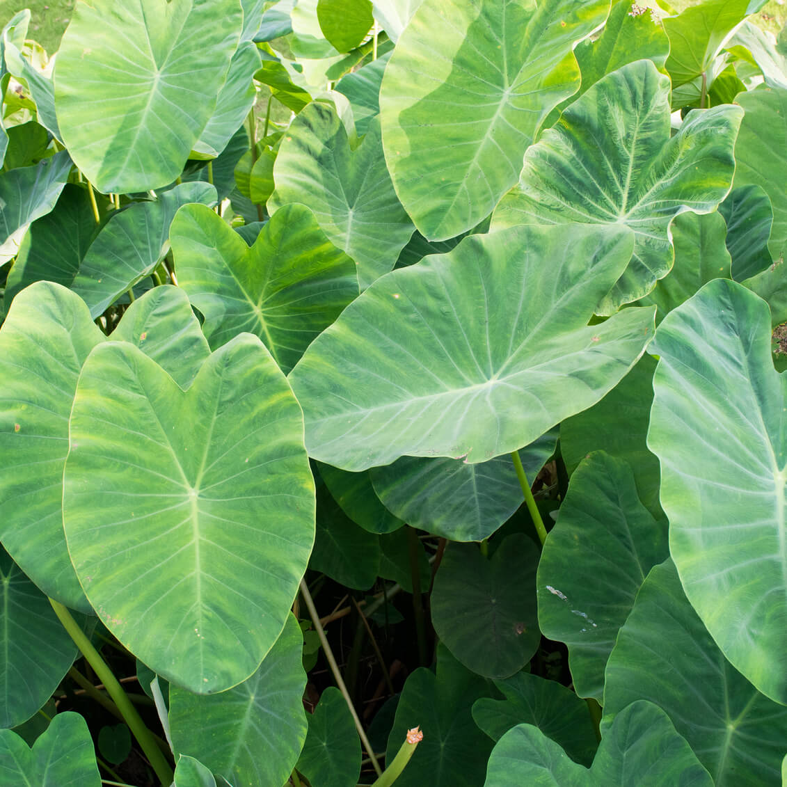 Poisonous plants for dogs - Elephant Ear