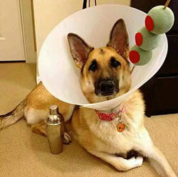 DIY dog Halloween costume
